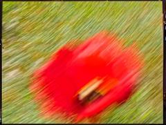 Rote Tulpe (thomaskrumm) Tags: red green rot lumix vegan freestyle natur wiese tulip garten brb tulpe gx8 diagonaler tkrumm freihandriss