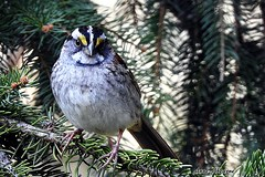 White-throated Sparrow (--Anne--) Tags: tree bird nature birds wildlife sparrow sparrows whitethroatedsparrow sprucetree