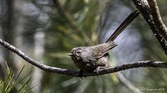 Wrentit (Bob Gunderson) Tags: california birds northerncalifornia northbay wrentit chamaeafasciata pineflatroad somonacounry