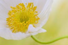 POPPY (ajpscs) Tags: park plant flower macro japan japanese tokyo nikon outdoor petal poppy d750  nippon   tamron  haru     showakinenkoen ajpscs