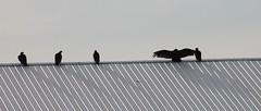 all but one (Moon Rhythm) Tags: birds maryland carrion scavenger roost turkeyvulture cathartesaura gregarious naturestrashmen