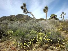 Blackrock - Joshua Tree (h willome) Tags: california desert hiking joshuatree wildflowers joshuatreenationalpark 2016 blackrockcanyon