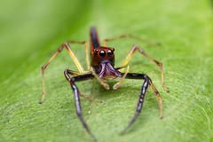 Macro @ Pasir Ris, Singapore (gintks) Tags: park singapore spiders tiny singapur raynoxdcr250 exploresingapore singaporetourismboard canon6d canonef100mmf28lisusmmacro yoursingapore gintks gintaygintks flashlightcanon600exrt