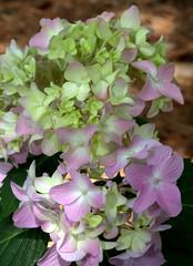 IMG_8710.CR2 (jalexartis) Tags: flowers flower spring bloom hydrangea blooms shrub shrubbery pinkhydrangea