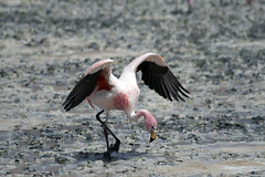 Flamingo (sophs123.) Tags: travel summer lake nature animals america de landscape san tour flat wildlife south flamingo salt bolivia lagoon pedro atacama latinoamerica laguna uyuni