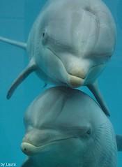 With mom (supermandrin1) Tags: madrid blue water animals azul photography zoo aquarium agua marine dolphins animales lennon mammals dolphinarium delfines bottlenose fotografa delfinario marinos mamferos guarina mulares