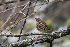 Mistle Thrush-3017 Explored (WendyCoops224) Tags: canon eos explore forestofdean 70d explored 100400mml april2016 ©wendycooper