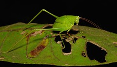 Katydid Nymph (Phaneropterinae, Tettigoniidae) (John Horstman (itchydogimages, SINOBUG)) Tags: china black macro insect bush cricket yunnan nymph katydid orthoptera tettigoniidae itchydogimages sinobug