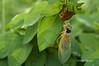 Cicada 1 (mjcarsonphoto) Tags: cuyahogavalleynationalpark periodicalcicada iraroadtrailhead