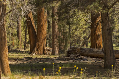 The Range Of Light (socaltoto11) Tags: canonphotography california trees pinetrees woods forests springincalifornia spring flowers shadows light westcoast westcoastlandscapes westernlandscapes pinecones bigbearcalifornia bigtrees trails hiking walkingtrails walks morninglight sanbernadinomountains quiet alone nature