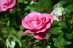 Pink Rose (tonny.froyen) Tags: flowers flores flower macro fleur beautiful rose fleurs garden botanical petals pretty blumen petal stunning bloom blooms fiori blomst blomster molde picoftheday floweroftheday flowermagic flowerslovers rbnett flowerstagram flowersofinstagram