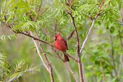 lovely red cardinal (theharv58) Tags: birds cardinal torontocanada torontoparks canonef400mmf56lusm canon60d canonef400mmf56lens canoneos60d birdingintoronto sirsamuelsmithparktoronto cardinalsingsasong birdswaterfoulandnature enjoyingthewildlifeintorontoatcolsamuelsmithpark
