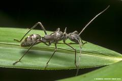 Ant Mimic Alydid Bug (Shamsul Hidayat Omar) Tags: bug lens photography nikon ant bio 55mm malaysia omar mimic selangor biodiversity hidayat micronikkor greatphotographers shamsul kepelbagaian d800e alydid
