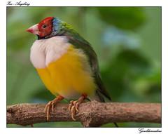 Gouldamadine - Chloebia gouldiae (tom22_allgaeu) Tags: bird animals deutschland zoo tiere nikon europa tamron vogel gouldamadine d3200