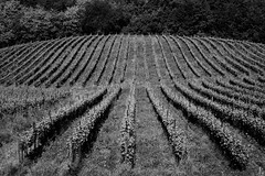 Vigneti a nord-est ovvero l'uomo non vive di soli schei (fpierantoni) Tags: vino vigneto viti enologia