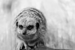 Meerkat in Black & White (jonathan.scaife81) Tags: portrait blur field animal st canon grey aquarium scotland high meerkat key andrews bokeh fife tamron depth mongoose lightroom 6d 28300 tamron28300