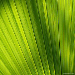fine art palm (ewaldmario) Tags: wien light green texture lines contrast leaf sterreich patterns struktur structure palm diagonal glowing grn elegant lightening blatt tones leading botanischergarten botanischer contraluce at durchlicht naturefineart