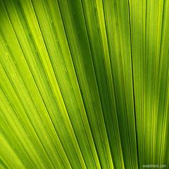 fine art palm (ewaldmario) Tags: wien light green texture lines contrast leaf sterreich patterns struktur structure palm diagonal glowing grn elegant lightening blatt tones leading botanischergarten botanischer contraluce at durchlicht naturefineart