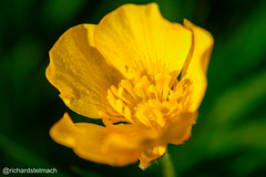 Split Tone Buttercup (richardstelmach) Tags: abstract macro nature yellow landscape outdoors buttercup yorkshire wakefield colourful westyorkshire featherstone splittone