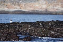 DSC01592_Fotor (Jagupov Igor) Tags: sea russia north oystercatcher kola peninsula barents haematopus ostralegus 12062016