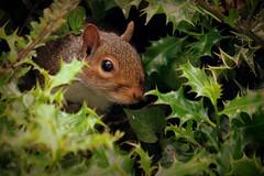 162.365.2016 (johnny the cow) Tags: wales grey photo squirrel diary cymru holly aberystwyth collection hedge peep 365 hiding catalogue ceredigion 2016 aphotoaday celyn 366 llanafan