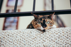 oh, hai (catklein) Tags: pet cute cat kitty coco calico splotchy