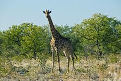Giraffe (alisdair jones) Tags: africa park wildlife giraffe namibia etosha ef70200mmf28lisusm2xiii