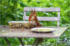 "Ecureuil du jardin ""2016"" (Christian Labeaune) Tags: 2016 ecureuil faune poils christianlabeaune chtillonnais cureuil jardin chatillonsurseine21400 bourgognectedor france"