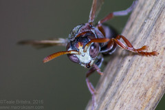White-faced Brown Paper Wasp (Teale Britstra) Tags: tondoonbotanicgardens tondoon botanicgardens botanicalgardens gardens macro macrokosm macrokosmcom canon 600d 55250mm extensiontubes ropalidia plebeiana ropalidiaplebeiana insect hymenoptera macrophotography wasp paperwasp brownpaperwasp whiteface whitefacedbrownpaperwasp nature native wildlife wild outdoors photography
