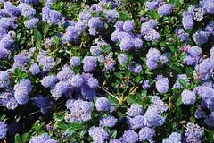 101MSDCF-1209 (hermaion1) Tags: fleurs flore floraison botanique bleu boules nature