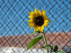 Sunflower & Fence in RiNo District - Denver, Colorado (ChrisGoldNY) Tags: usa flower yellow america fence colorado forsale denver chainlink urbannature sunflower albumcover bookcover bookcovers albumcovers rino licensing rivernorth milehighcity chrisgoldny chrisgoldberg chrisgoldphoto