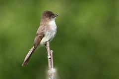 Eastern phoebe (NicoleW0000) Tags: ontario bird nature photography watching phoebe eastern flycatcher