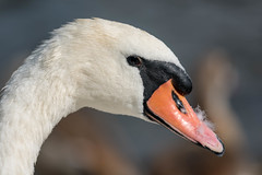 Mute Swan  |  Hckerschwan (abritinquint Natural Photography) Tags: bird vogel natural wildlife nature wild nikon d750 telephoto 300mm pf f4 300mmf4 300f4 nikkor teleconverter tc17eii pfedvr hckerschwan swan muteswan portrait beak pure white feather