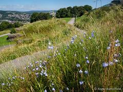 Harebells at Bolehills (Roger B.) Tags: park unitedkingdom sheffield wildflower crookes southyorkshire bolehills harebell campanularotundifolia bolehillrecreationground