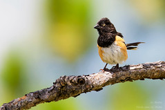 It's A Beautiful Day (ac4photos.) Tags: bird nature animal nikon florida wildlife ac tamron towhee naturephotography easterntowhee animalphotography birdphotography wildlifephotography d300s ac4photos