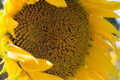 Hair in the wind// Melena al viento (Mireia B. L.) Tags: sunflower girasol summerflowers summer verano floresverano estiu yellowflower yellow