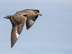 Great Skua (coopsphotomad) Tags: great skua greatskua bird bonxie animal wildlife nature sea seabird birdinflight flight flying