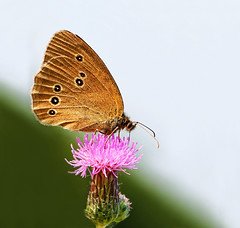 Ringlet on Thistle flower (Lorraine1234) Tags: butterfly nature macro ringlet koevinkje netherlands thistle distel