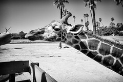 Reach (GavinZ) Tags: animals california safaripark sandiego usa zoo blackandwhite bw monochrome giraffe animal reach feed eat nature