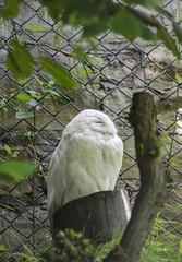 Edinburgh Zoo (karllaundon) Tags: edinburghzoo bird owl white