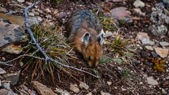 DSC_0081 (Adrian De Lisle) Tags: lakemoraine banffnationalpark banff pika wildlife