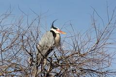 Heron cendre au parc ornithologique du pont de Gau - Grey Heron (frimoussec) Tags: heron cendre parc ornithologique pont gau grey oiseau bird aquatique echassier poisson