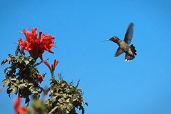 coming in hot... (BorrowedLightPhoto) Tags: hummingbird approach tecomaria flower sky crop canon 7dii