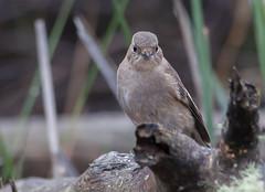 flame robin (Petroica phoenicea)-3657 (rawshorty) Tags: birds australia canberra act gudgenbyvalley rawshorty