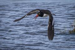 american oystercatcher (joe.gliozzo) Tags: usa birds newjersey oceancity jerseyshore sandyhook americanoystercatcher edwinforsythewildliferefuge joegliozzo