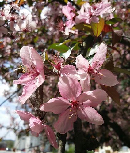 Flowering trees 3