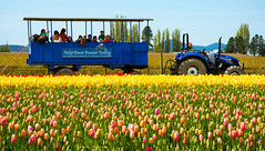 Skagit Valley Tulip Festival 2015 Tulip Town - Blue Trolley Tour of the Fields (SonjaPetersonPh♡tography) Tags: flowers town washington tulips murals tulip washingtonstate mountvernon skagitvalley skagitvalleytulipfestival tulipfestival laconner skagitcounty roozengaarde tuliptown 2015 tulipfields tulipsandmoretulips skagitvalleytulipsfestival nikond5200 roozengaardeskagitvalleytulipfestival tuliptownwindmill skagitvalleytulipfestival2015 tuliptownmurals nikonafs18140mmf3556edvr