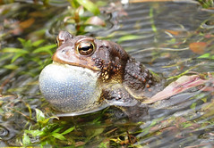 American_toad (Surfishrink) Tags: pond amphibian frog american toad pandapas