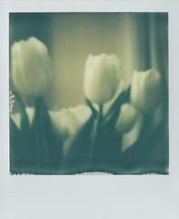 (elin*) Tags: white colour film sx70 tulips week no2 roid imposible 2015