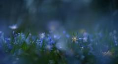 """""""Glory of the Snow"""" (Carmen Tulum) Tags: spring scilla blueflowers gloryofthesnow chionodoxa panomacro panoramamacro"""